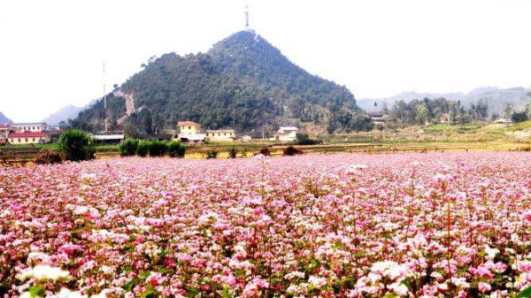 lũng cú điểm ngắm hoa tam giác mạch