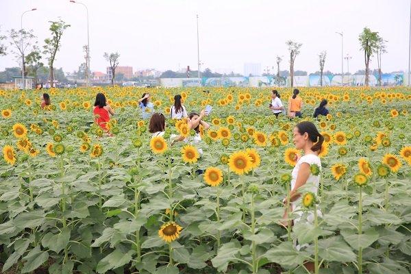 Chiêm ngưỡng Cánh đồng hoa hướng dương tuyệt đẹp ở Sài Gòn