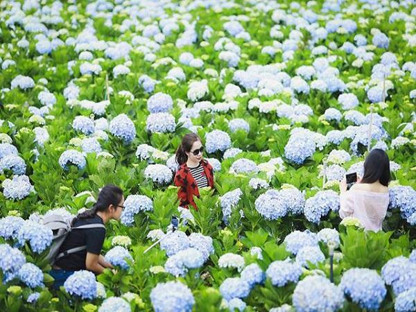 Khám phá 3 vườn hoa cẩm tú cầu đà lạt đẹp nhất
