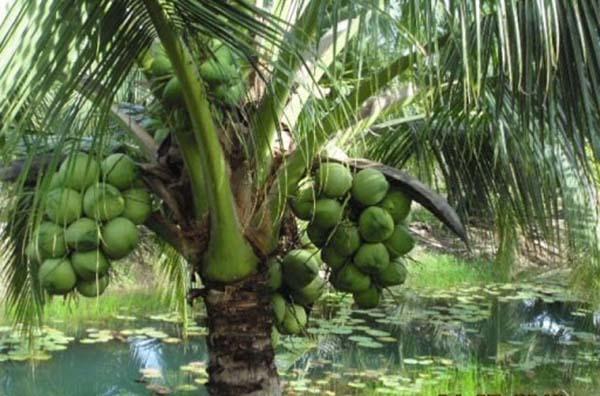 Nằm mơ thấy cây dừa đánh số nào chắc ăn nhất