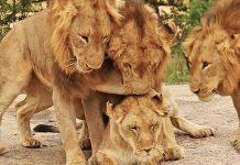 Giải mộng thấy sư tử