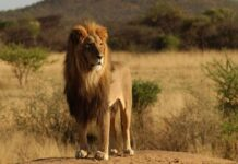 Ngủ mơ thấy sư tử là điềm báo lành hay dữ? đánh số gì?