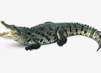 Mơ thấy con cá sấu điềm báo gì